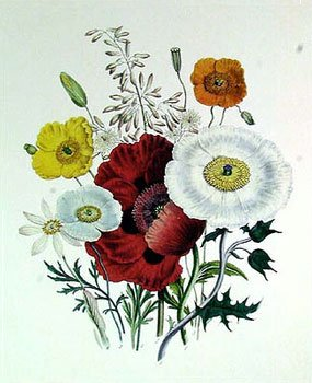 poppies - flower of Virgo